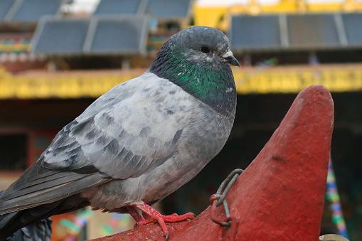 pigeon nuisance